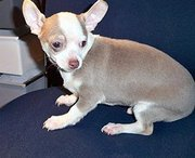High Quality Chihuahua Puppies For A lovely Home