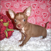 Chihuahua puppies for sale with all thier neccesary papers