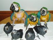 Beautiful weaned  baby birds for sale