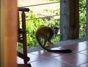 2  baby  Squirrel monkeys