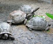 Tortoise and Turtles Available