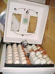 fresh laid and fertile species of parrot eggs