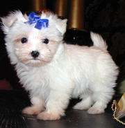 Two Maltese puppies to give it out for adoption