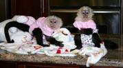 Twin Baby White-Face Capuchin monkey for Adoption