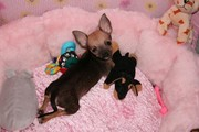 Male And Female Baby Face Chihuahua  Puppies For Adoption